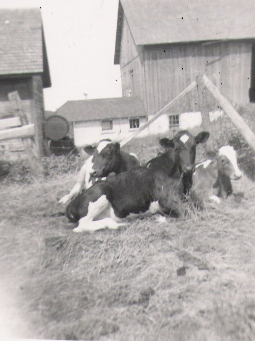 Cows on the Farm in 77
