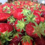pick your own strawberries near green bay wisconsin